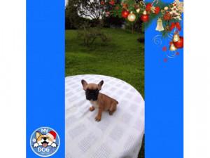 Bulldog francés rojo 3193905320