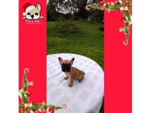 En venta macho bulldog francés rojo