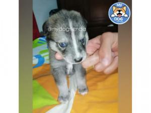 Encantador cachorro macho pomsky